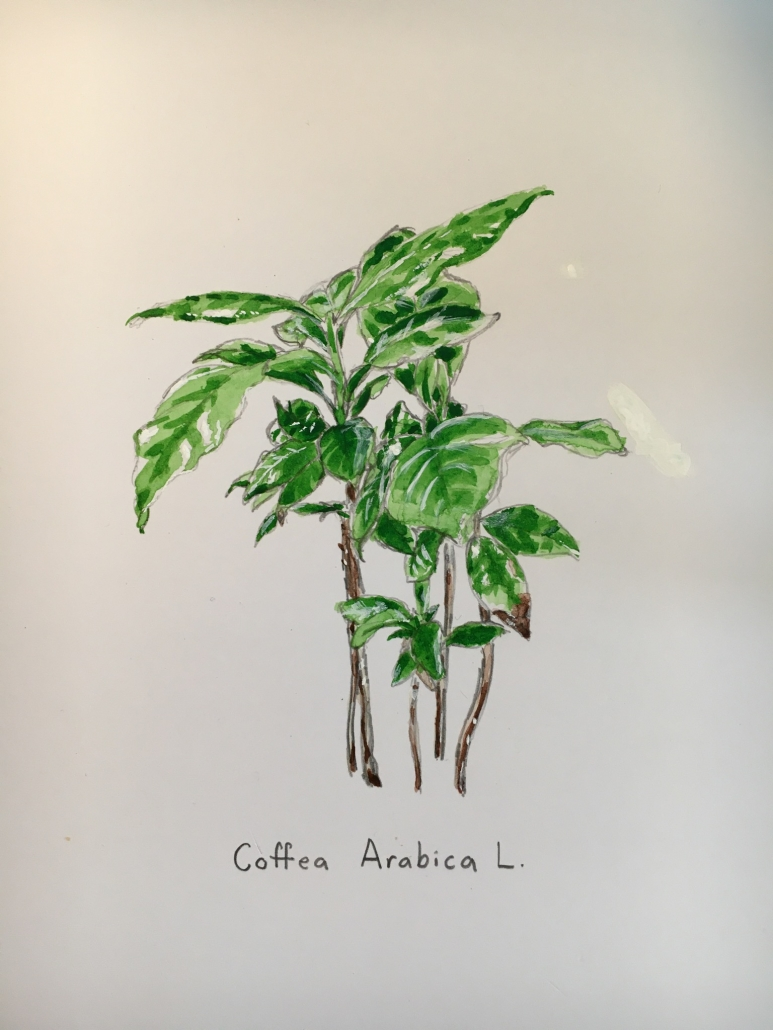 Coffee arabica by Isabel Warnock